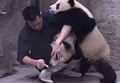 悪戦苦闘しながらパンダに薬を服用させる飼育員