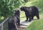 外でクマ同士の取っ組み合いの喧嘩!