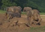 泥浴びを楽しむゾウの群れ