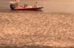 ボラの大群を襲うサメ、完全に食べ放題状態