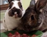 スイカをムシャムシャ食べるウサギの映像