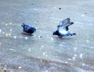 氷の上で滑りながら餌を食べるハト