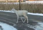 ミネソタ州の州立公園で発見された白い鹿の映像