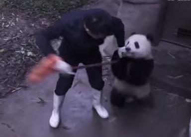 飼育員のホウキを奪おうとするパンダの子供