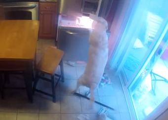 留守中に冷蔵庫から食べ物を盗むワンコ