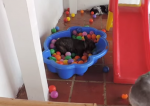 2つのボールプールを独占するフレンチブルドッグ