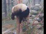 木の上で動けなくなったパンダを助ける親パンダ