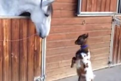 馬 vs. ドワーフ山羊