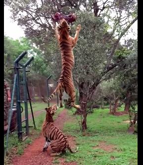 トラのジャンプ力は凄い!