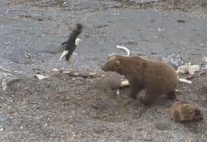 白頭鷲に襲いかかるヒグマの映像