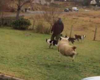身体をくねらせながら飛び跳ねる羊の子