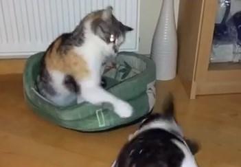 猫 vs. フレンチブルドッグ ベッドをめぐる戦い