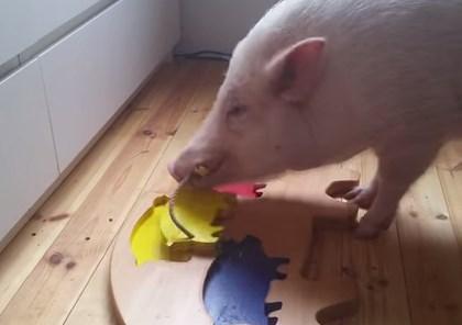 パズルを解く賢い豚