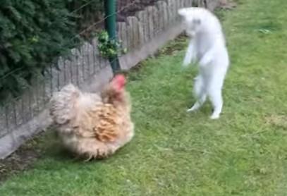 猫 vs. ニワトリ