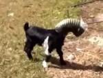 パイプが頭から抜けなくなってしまったヤギの赤ちゃん