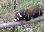レッサーパンダの赤ちゃん、初めての丸太渡り