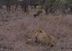 知らぬ間に雄ライオンに接近したハイエナ、「あっヤバイ!」