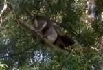 コアラがライバルを木の上から突き落とす映像