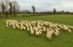 牧羊犬ならぬ牧羊ドローン(ラジコンヘリ)