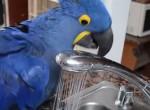キッチンのシンクでシャワーを浴びる青いオウム