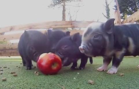 リンゴを食べるかわいいミニブタの映像