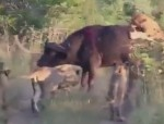 ライオンの群れに襲われる1頭のアフリカ水牛