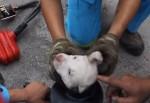 鋼管にハマって抜けなくなった子犬の救助