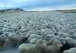 おびただしい数の羊の群れと遭遇した映像