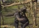 チンパンジーを撮影していたドローン、木の枝で叩き落とされる