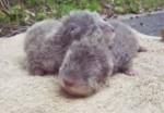 コツメカワウソの赤ちゃんの鳴き声 | 平川動物公園