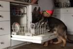 食洗機に食器を入れてくれるジャーマン・シェパード
