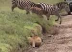 小さな段差に隠れて狩りをするライオン