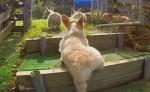 走り回るコーギーの子犬のスローモーション映像