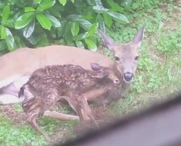 裏庭で鹿が2頭の赤ちゃんを出産