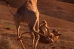 ライオンに体当たりして激しく踏みつけるキリンの映像