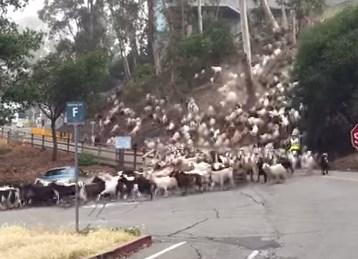 ヤギの大移動