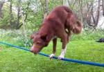 前足2本でロープに半逆立ちするワンコ