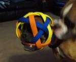 ボールで遊んでいたボクサー犬が大変なことに!