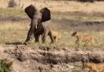 若いゾウを襲うライオンの群れ