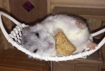 ハンモックに横になって食事をとるハムスター