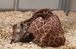 キリンの赤ちゃんの寝姿