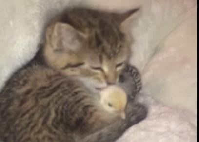 子猫とヒヨコの友情