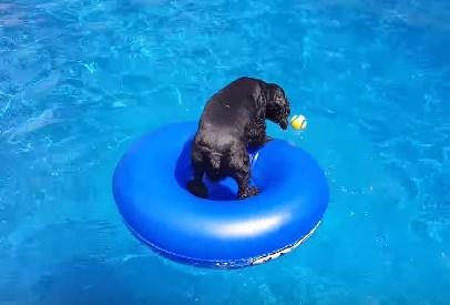 プールに浮かぶボールが欲しいが水に入りたくないワンコ