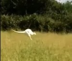 イギリス・ノーサンプトンシャー州で白いワラビー出没