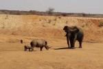 ゾウ vs. 子連れのサイ