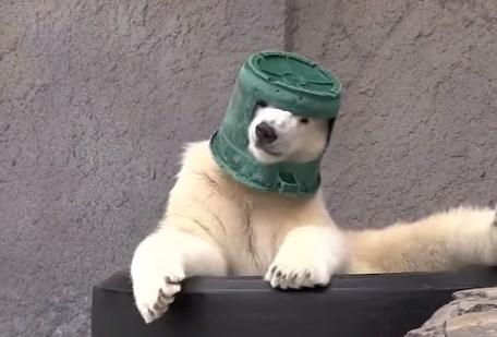 バケツヘルメットを被る円山動物園のホッキョクグマ