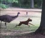 ボクサー犬を追いかけるエミューの映像