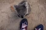 カメラマンによじ登るコアラの赤ちゃん