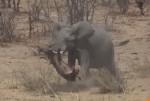 ゾウがバッファローを攻撃し殺してしまう映像