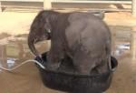 ゾウの赤ちゃんが小さなバスタブで水浴びする映像